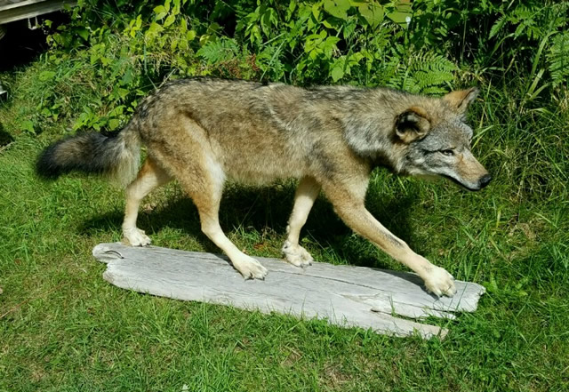 baby coyotes for sale - 640×441