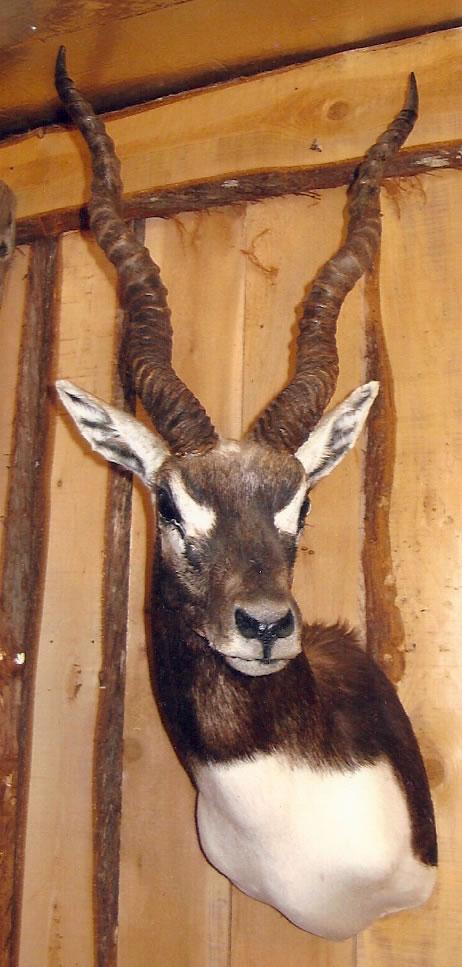 Blackbuck antelope mount - photo#13