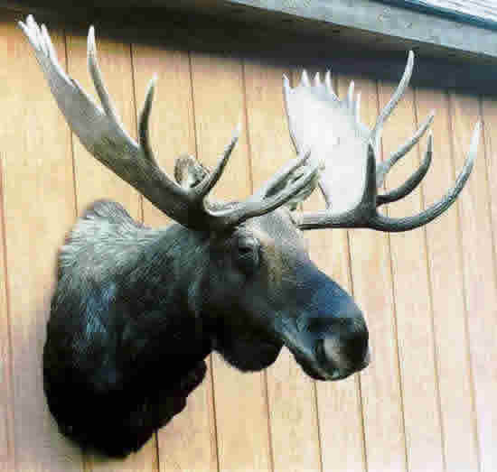 mac 39 s taxidermy mooseheads for sale taxidermy for sale taxidermy mounts for sale today. Black Bedroom Furniture Sets. Home Design Ideas