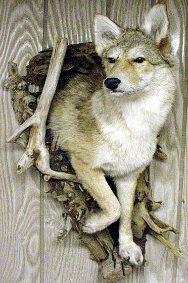 Macu0027s Taxidermy, Mooseheads For Sale, Taxidermy For Sale, Taxidermy Mounts  For Sale, TODAY!