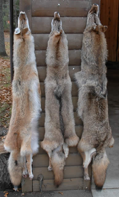 Mac S Taxidermy Mooseheads For Sale Taxidermy For Sale
